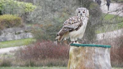 Pheonix the Owl